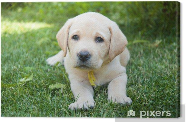 Obraz na płótnie Labrador Puppy - Ssaki