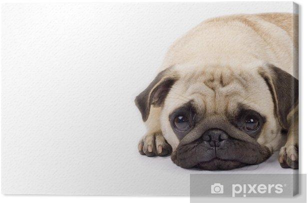 Obraz na płótnie Ładny pug o smutnych oczach - Ssaki