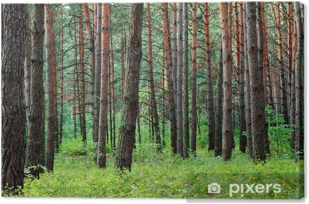 Obraz na płótnie Las sosnowy, po letnim deszczu - Lasy
