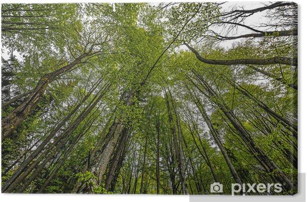 Obraz na płótnie Las wiosną - Drzewa