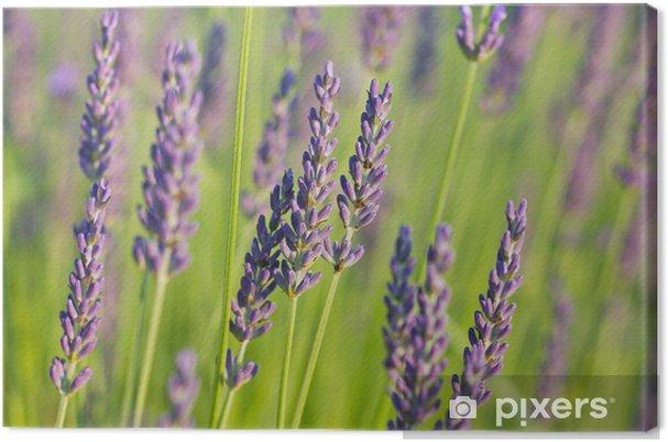 Obraz na płótnie Lawenda w słońcu - Kwiaty