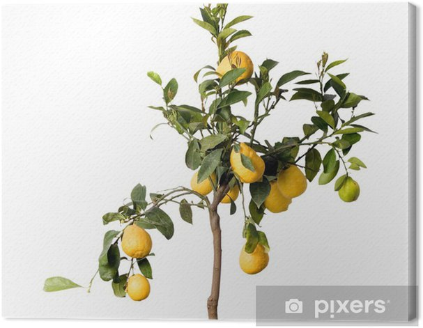 Obraz na płótnie Lemon tree w puli samodzielnie - Drzewa