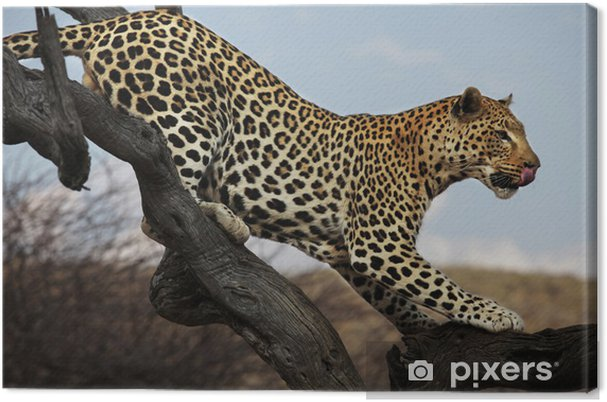 Obraz na płótnie Leopard na drzewie - Ssaki