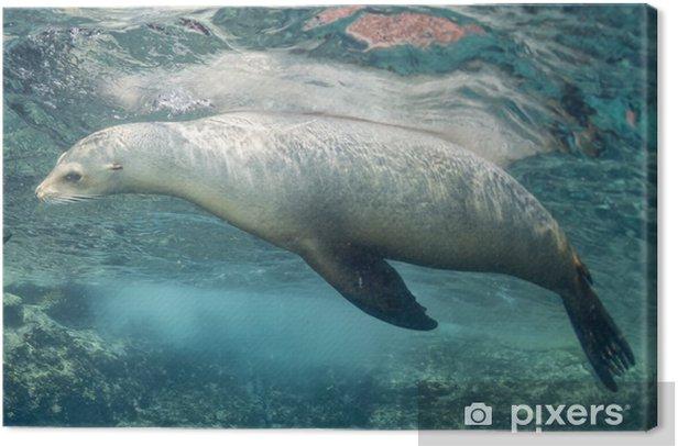 Obraz na płótnie Lew morski podwodny - Zwierzęta żyjące pod wodą