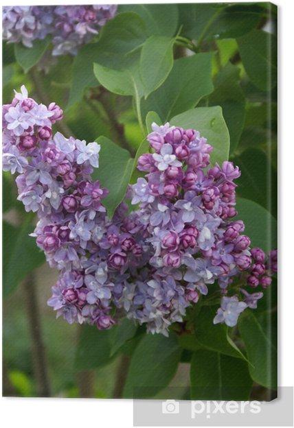 Obraz na płótnie Liliowy - Kwiaty
