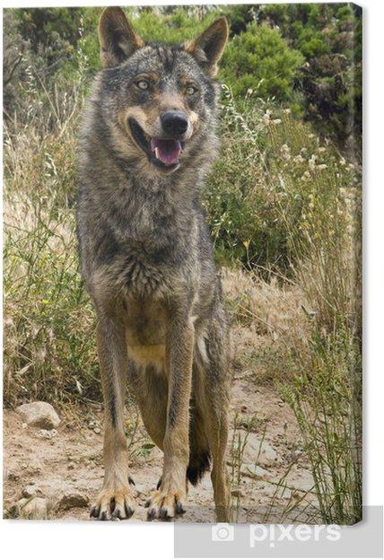 Obraz na płótnie Lobo iberico - Tematy