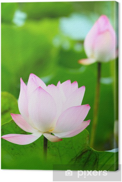 Obraz na płótnie Lotus pond - Kwiaty
