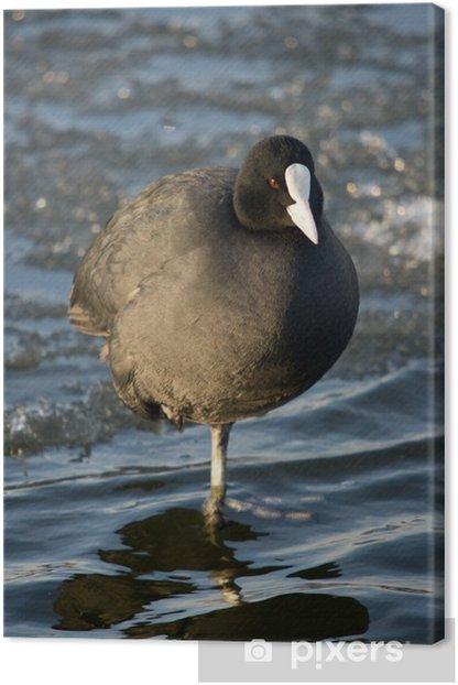 Obraz na płótnie Łyska (Fulica atra) stoi na jednej nodze - Ptaki