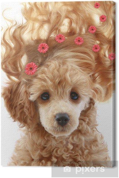Obraz na płótnie Mały szczeniak pudel morelowy z długimi włosami - Moda