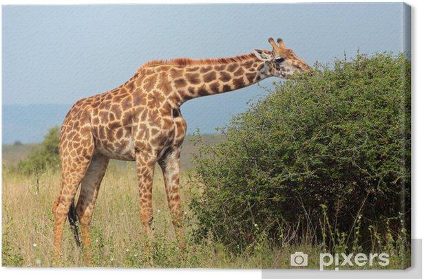 Obraz na płótnie Masai żyrafa karmienie na drzewie - Tematy