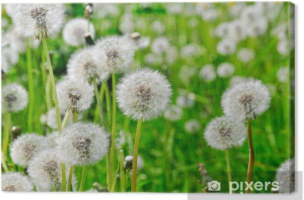 Obraz na płótnie Mniszek lekarski, Taraxacum officinale - Kwiaty