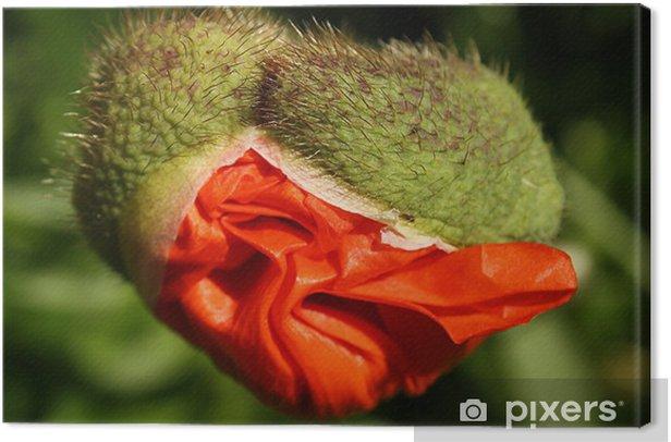 Obraz na płótnie Mohn - Kwiaty