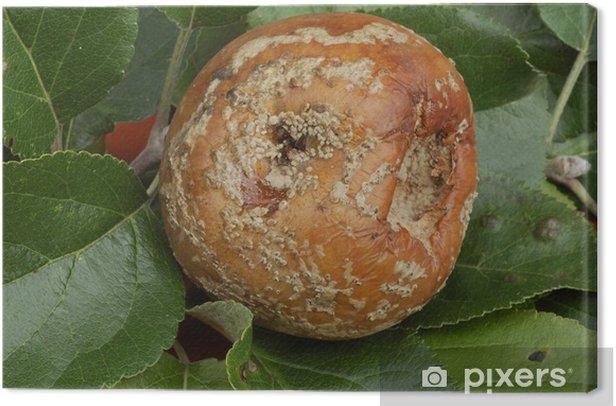 Obraz na płótnie Monilia fructigena / brunatnej zgnilizny owoców / jabłek - Dom i ogród
