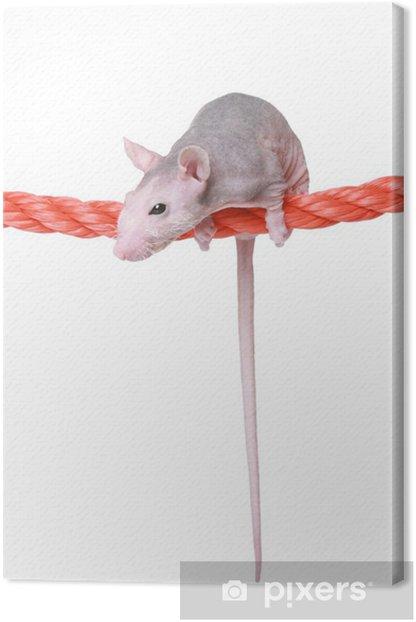 Obraz na płótnie Nagi szczur na liny - Ssaki