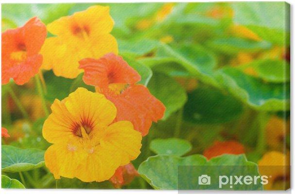 Obraz na płótnie Nasturcja kwiaty - Kwiaty