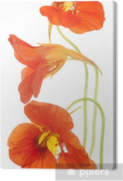 Obraz na płótnie Nasturcja - Kwiaty