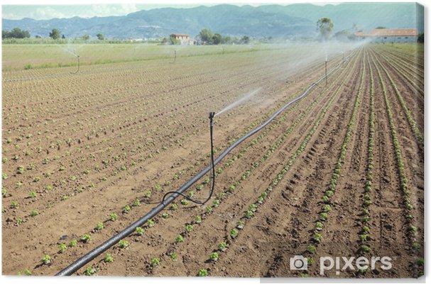 Obraz na płótnie Nawadniania pola warzyw - Rolnictwo
