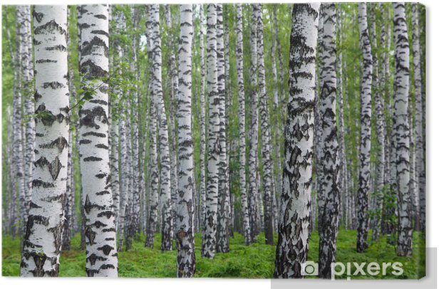 Obraz na płótnie Nice summer brzozowy las - Style
