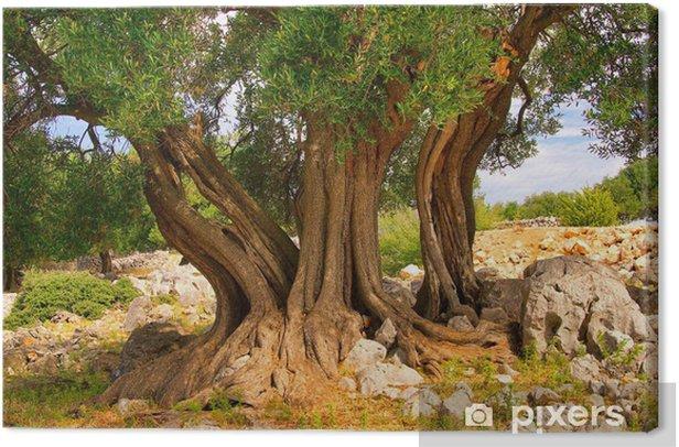 Obraz na płótnie Olivenbaum Stamm - pnia drzewa oliwnego 11 - Europa