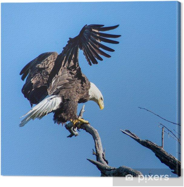Obraz na płótnie Orzeł bielik - Ptaki