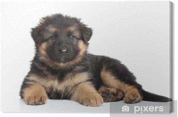 Obraz na płótnie Owczarek niemiecki puppy - Ssaki
