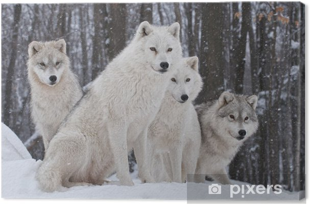 Obraz na płótnie Pakiet wilk arktyczny - Wilki