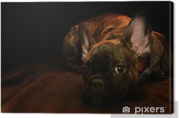 Obraz na płótnie Pan Kliczko - little French Bulldog - Buldogi francuskie