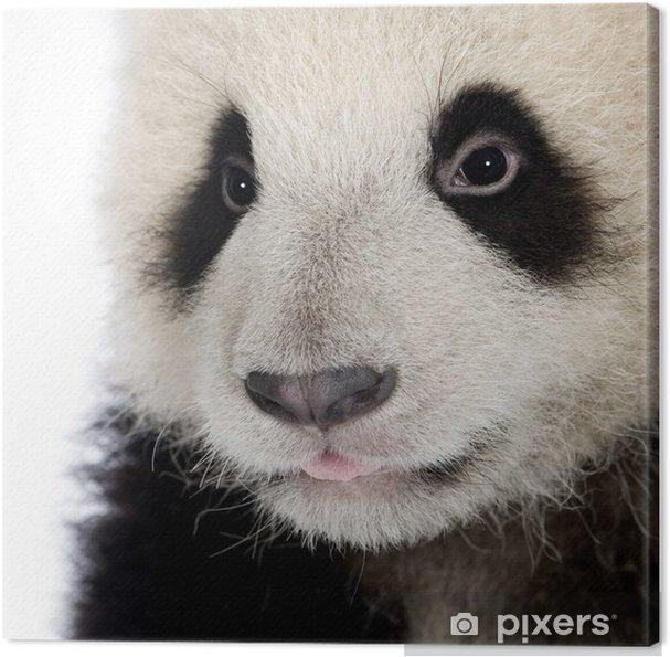 Obraz na płótnie Panda (6 miesięcy) - ailuropoda melanoleuca - Tematy