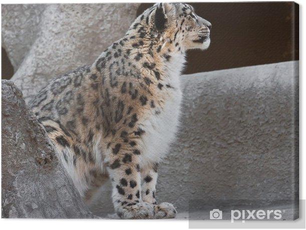 Obraz na płótnie Pantera śnieżna - Ssaki