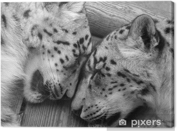Obraz na płótnie Pantery śnieżne śpi. - Ssaki