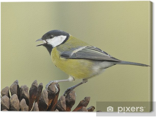Obraz na płótnie Parus major - Ptaki