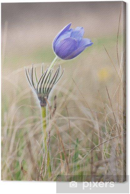 Obraz na płótnie Pasqueflower na łące - Kwiaty