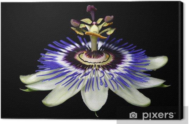 Obraz na płótnie Passiflory - Kwiaty