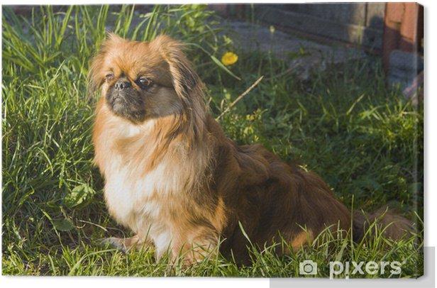 Obraz na płótnie Pekińczyk na trawie - Ssaki