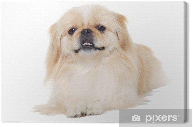 Obraz na płótnie Pekińczyk pies samodzielnie na białym tle - Ssaki