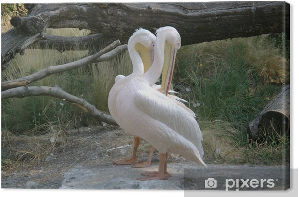Obraz na płótnie Pelikany - Ptaki