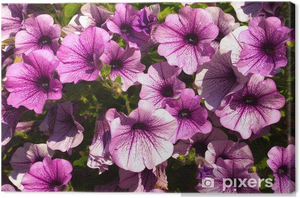 Obraz na płótnie Petunias - Kwiaty