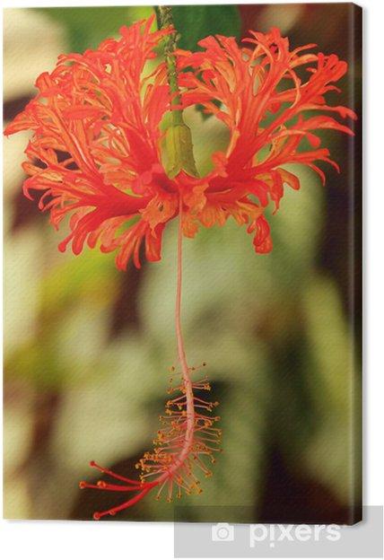 Obraz na płótnie Pfeifenputzer roślin - bottlebrush roślin 01 - Kwiaty