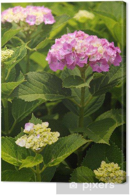 Obraz na płótnie Piękna hortensja kwiat kwitnący w sezonie letnim - Kwiaty
