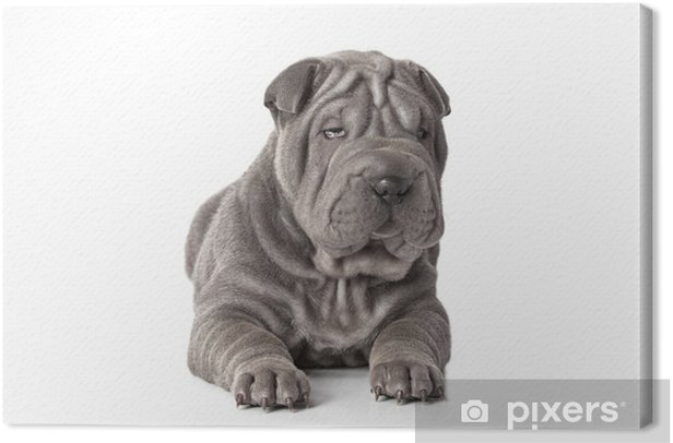 Obraz na płótnie Piękne sharpei puppy - Ssaki