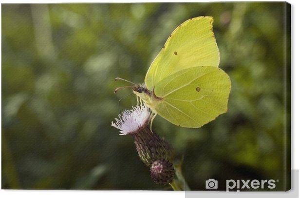 Obraz na płótnie Piękny motyl listkowiec cytrynek na kwiatku - Inne Inne