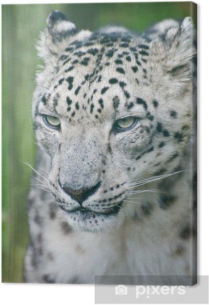 Obraz na płótnie Piękny portret Snow Leopard Panthera Uncia wielkiego kota - Ssaki