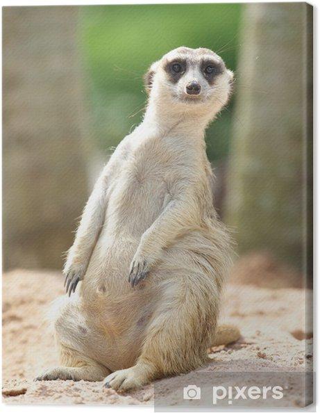 Obraz na płótnie Piękny Surykatka stałego i patrząc w zoo - Cuda natury
