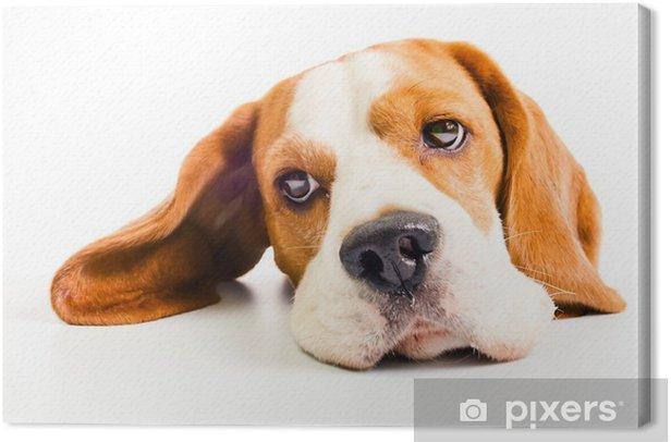 Obraz na płótnie Pies gończy - Ssaki