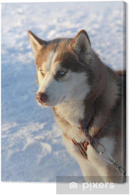 Obraz na płótnie Pies husky syberyjski na śniegu - Ssaki