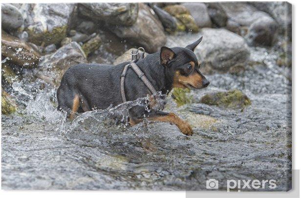 Obraz na płótnie Pincher gry pies - Ssaki