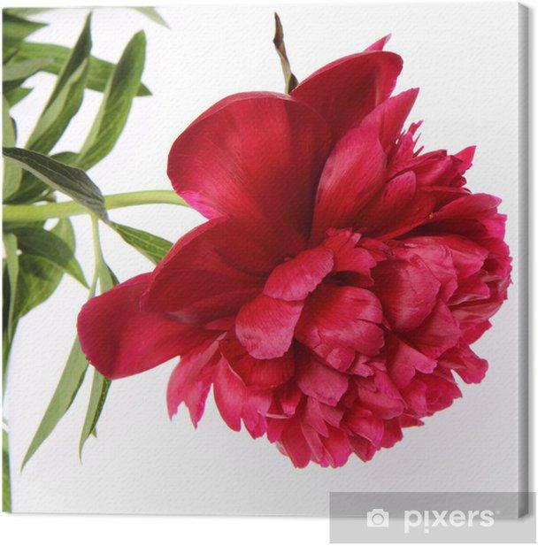 Obraz na płótnie Piwonia kwiat na białym tle. - Kwiaty