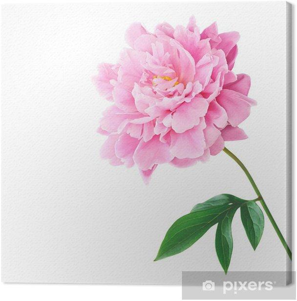 Obraz na płótnie Piwonia - Kwiaty