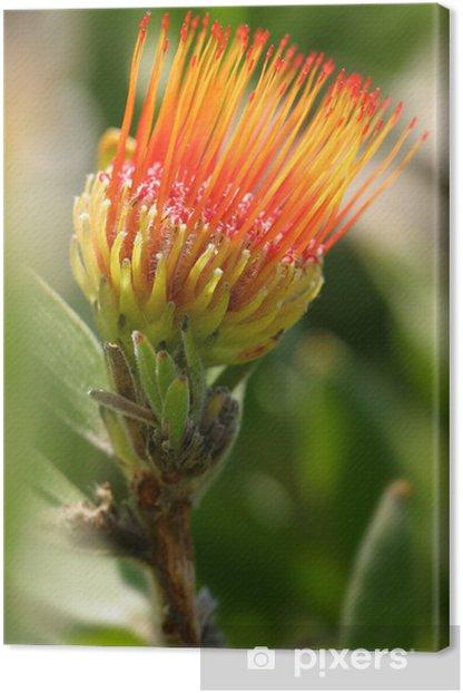 Obraz na płótnie Poduszkowe Protea fotografowane w mt Tomah ogrodzie. - Kwiaty