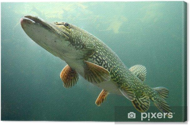 Obraz na płótnie Podwodne zdjęcie dużego szczupaka (Esox lucius). - Tematy